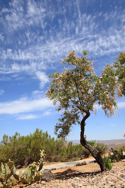 Desert Tree, Spring in Arizona